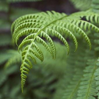 Fern, Leaves, Plan, Green, Ecology, Environment