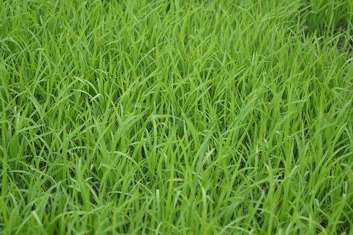 Green, Lawn, Meadow, Grass, Field, Grassland, Plant