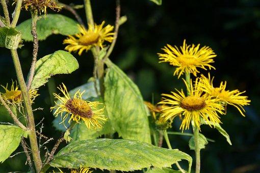 Inula, Plant, Real Alant, Iluna Helenium, Composites