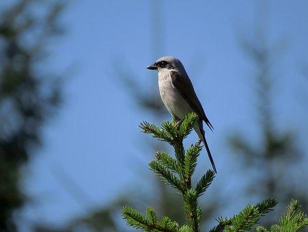 Bird, Red-backed Shrike, Lanius Collurio, A Little Bird