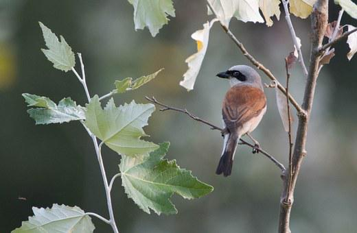 Lanius Collurio, Bird, Small, Shrike General, Perched