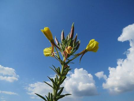 Oenothera Biennis, Common Evening-primrose