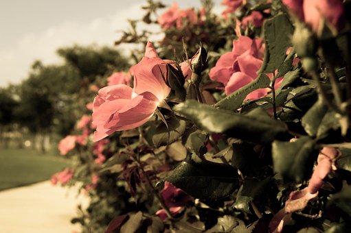 Rose, Flower, Garden, Bloom, Outdoors, Petal, Plant