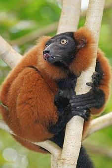 Animals, Primate, Lemur, Rainforest, Red Vari