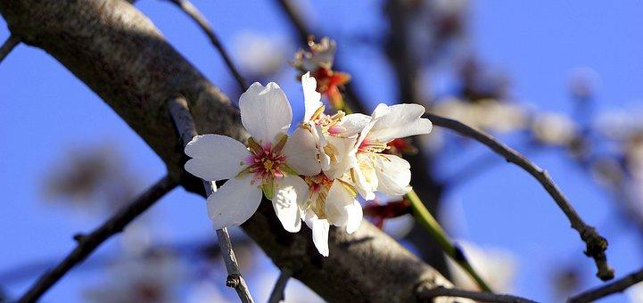 Almond Flower, Flowering, Spring, February