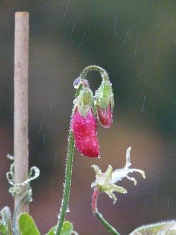 Rain, Raindrop, Wet, Vetch, Vicia, Fabaceae, Faboideae