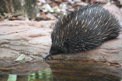 Echidna, Australia, Wildlife, Spikes, Spiny, Aussie