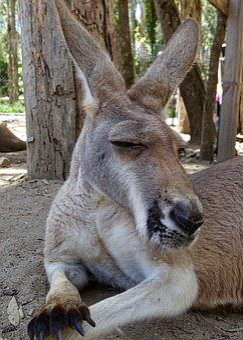 Kangaroo, Face, Australia, Portrait, Cute, Native