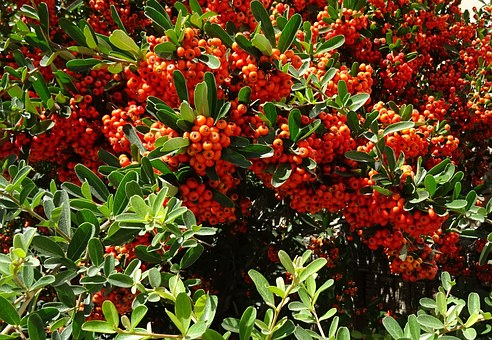 Berry, Pyracantha Coccinea, Scarlet Firethorn