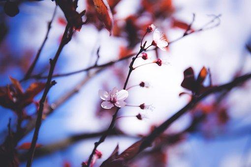 Flower, Nature, Tree, Branch, Cherry, Plant, Bush, Blur