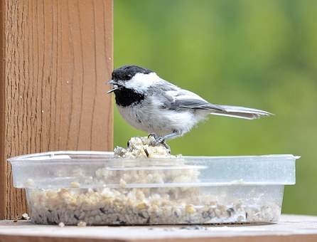 Chickadee, Bird, Nature, Songbird, Birdwatching, Avian