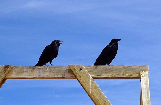 Common Raven, Corvus Corax, Northern Raven, Bird, Raven