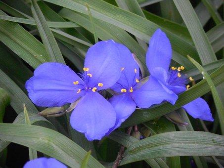 Spiderwort, Flower, Nature, Purple, Bloom, Floral, Blue