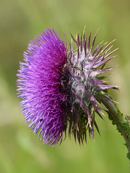 Cirsium Vulgare, Thistle, Flower, Blossom, Bloom