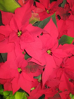 Poinsettia, Christmas, Wildflower, Flower, Decoration