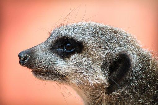 Meerkat, Nature, Portrait, Animal, Head, Is Watching