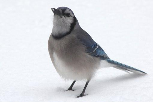 Bluejay, Blue Jay, Blue Bird, Bird, Blue, Jay, Nature