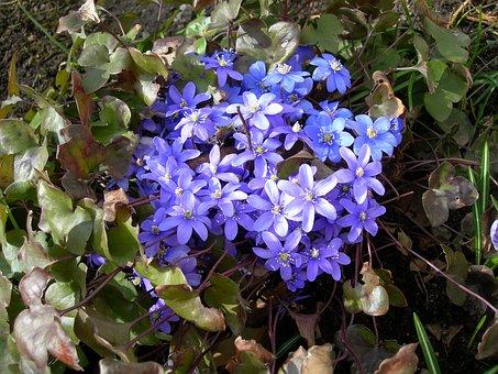 Liverwort, Our Characters, Flower Bouquet, Nature, Blue