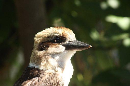 Kookaburra, Bird, Native, Australia, Nature, Laughing