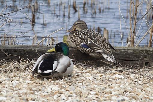Ducks, Fauna, Nature, Birds, Animal, Wildlife, Wild