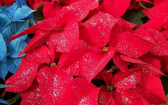 Poinsettias, Flowers, Xmas, Glitter, Red, White