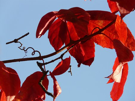 Wine Partner, Autumn, Wine, Vine, Color, Red, Emerge