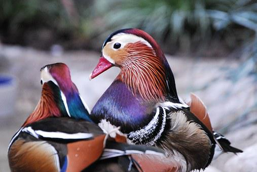 Wood Ducks, Birds, Zoo, Wildlife, Waterfowl, Colorful