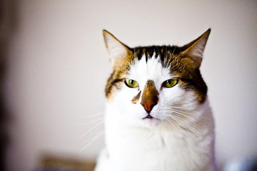 Cat, Serious, Overview, Sweet, Cute, Animal