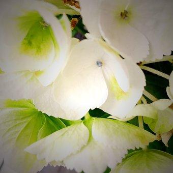 Flower, Green, Hellebore, Christmas, Winter, Plant