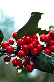 Holly, Red, Berry, Christmas, Decoration