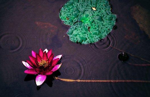 Lotus, Watermark, Purple