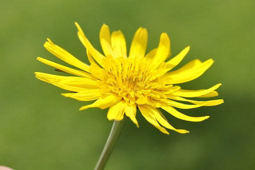 Meadows Dubius, Flower, Plant, Pointed Flower, Blossom