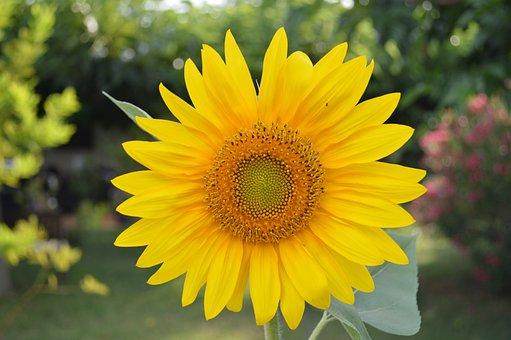 Sunflower, Flower, Yellow, Nature, Plant, Petal