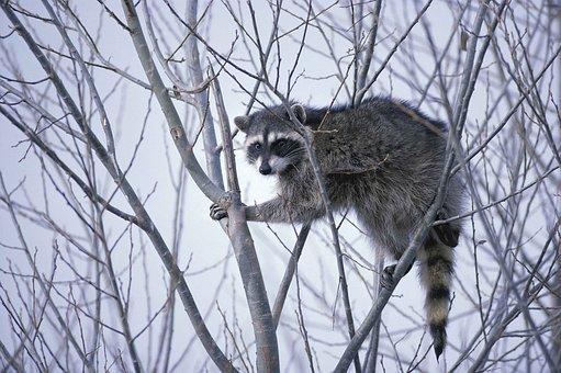 Raccoon, Lotor, Procyon, Raccoons, Animals, Fauna