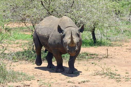Black Rhinoceros, Rhinoceros, Rhino, Species, Rare