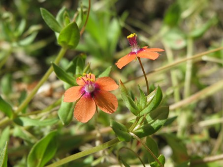 Lysimachia Arvensis, Red Pimpernel, Red Chickweed