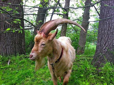 Goat, Farm, Animal, Cute, Horns, Farm Animals, Rural