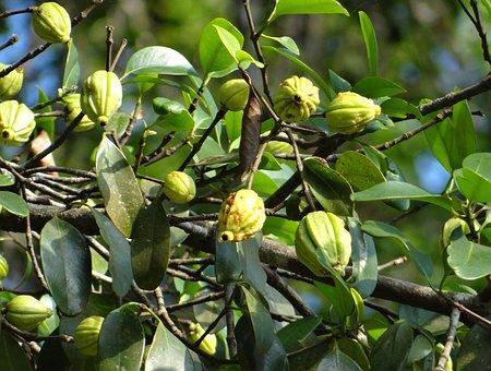 Garcinia Cambogia, Malabar Tamarind, Vadakkan Puli