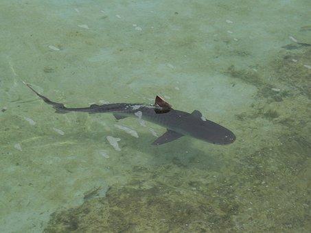 Reef Shark, Shark, Fish, Wildlife, Sea, Fin