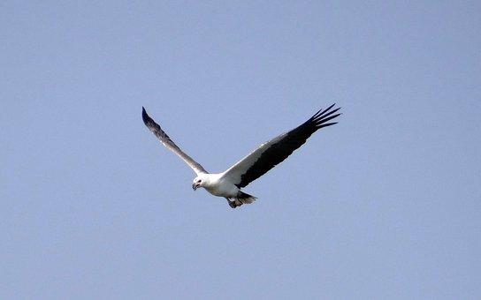 Sea Eagle, Eagle, White-bellied, Raptor, Bird, Wildlife