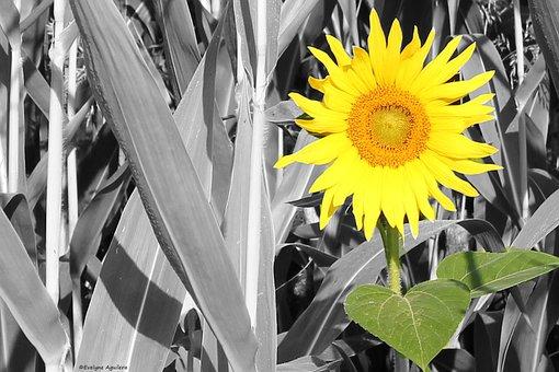 Yellow, Flower, Yellow Flower, Sunflower