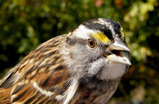 Sparrow, White-throated, Bird, Nature, Wildlife, Animal
