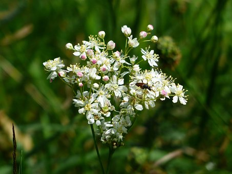 Inflorescence, Dropwort, Flower, Plant, Blossom, Bloom