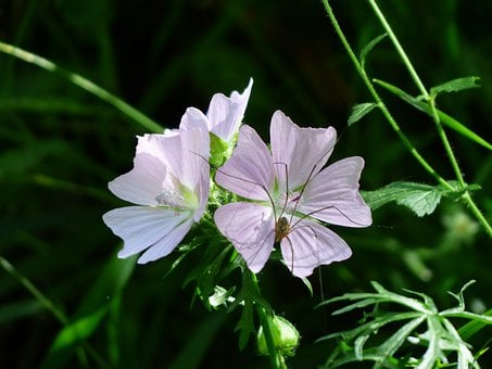 Musk Mallow, Flower, Blossom, Bloom, Light Purple