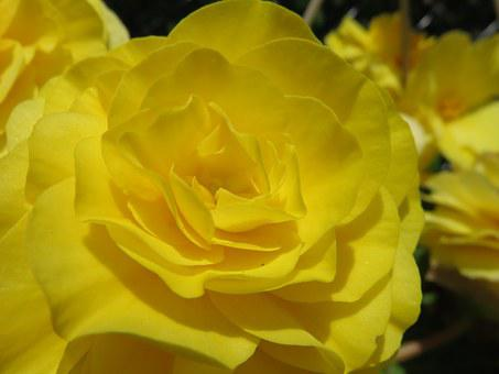 Yellow, Bloom, Blossom, Rose, Begonia, Tuberous Begonia
