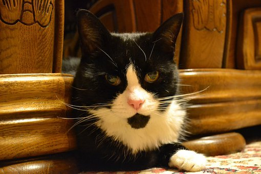Cat, Black And White, Domestic Short Haired