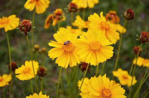 Coreopsis, Flowers, Yellow, Garden, Insect, Bee