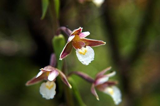 Marsh Helleborine, Epipactis Palustris, Orchid
