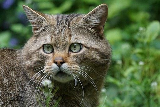 Wildcat, Forest Cat, Predator, European, Protected