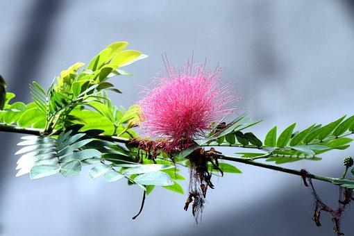 Calliandra Haematocephala, Flower, Pink Flower, Flowers